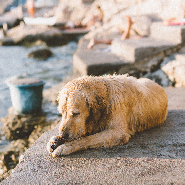 ines-perkovic-a-simple-hello-karlobag-summer-blue-sea-adriatic-croatia-pag-beach-golden-retriver-in-the-water-dog-wet