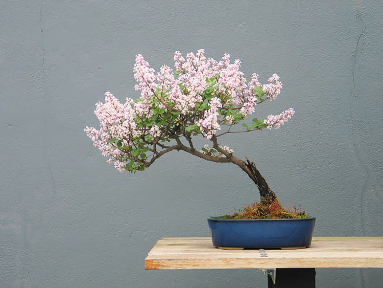 Bonsai-Trees-00