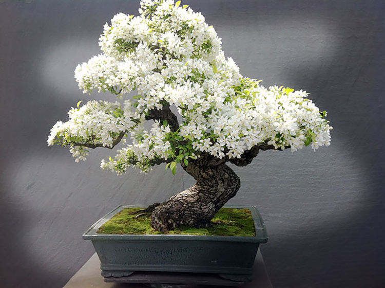 Bonsai-Trees-02