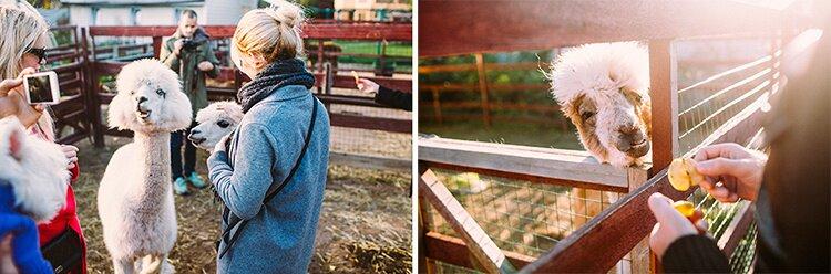 Alpacas Farm 08