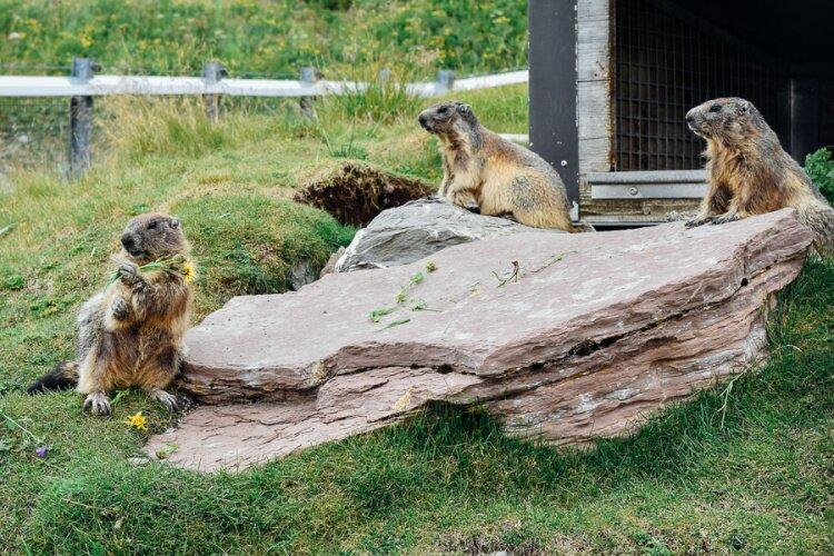 Marmottes Paradis-11