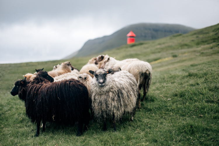 faroe-2-12-sheep-2