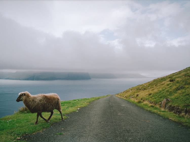 faroe-2-12-sheep